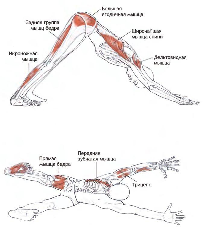 """Мышцы, задействованные при выполнении позы """"собака мордой вниз"""""""