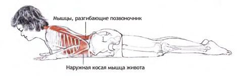 Задействованные мышцы при выполнении асаны в опущенном положении