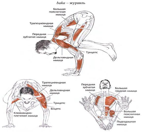Задействованные мышцы при выполнении позы