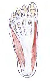 Фасция стопы