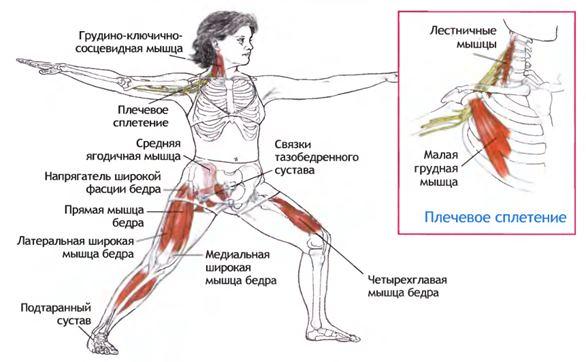 Анатомия вирабхадрасаны II