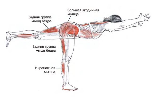 Анатомия работы мышц при выполнении позы вирабхадрасаны вариант 3