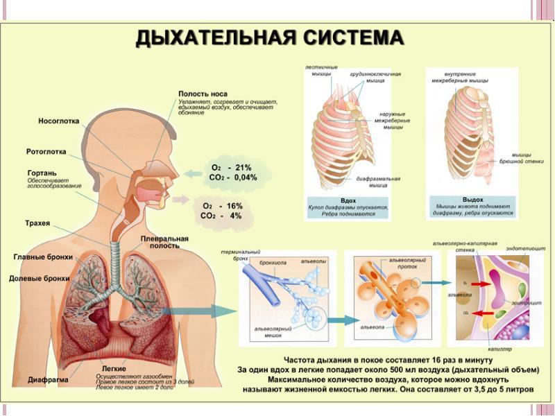Схема дыхательной системы человека