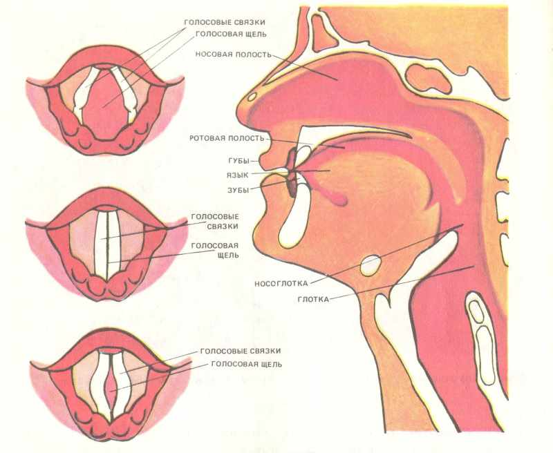 Рисунок расположение голосовых связок