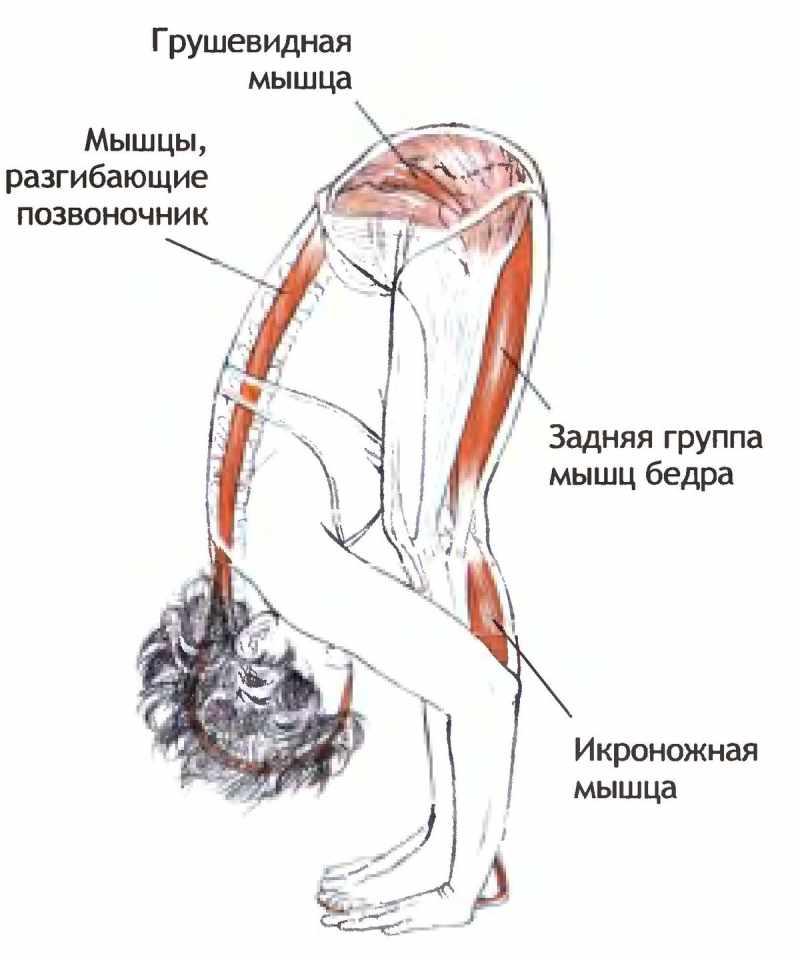 РАссмотрим мышцы используемые при наклонах впере
