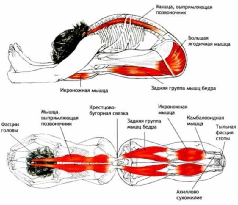 Пашчимоттанасана - группы мыщц