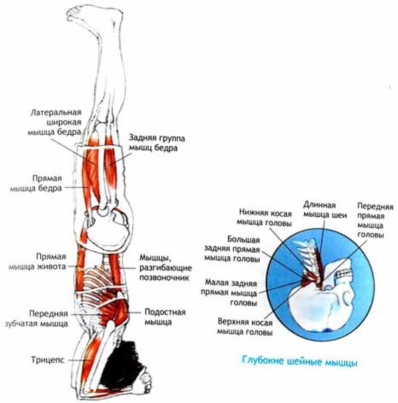 Рассмотрим какие мышц работают