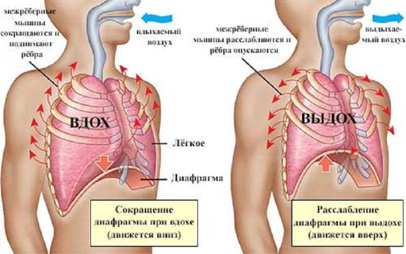 Сокращение и расслабление диафрагмы при дыхании