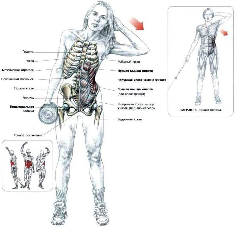 Действующие мышцы при наклоне с гантелей