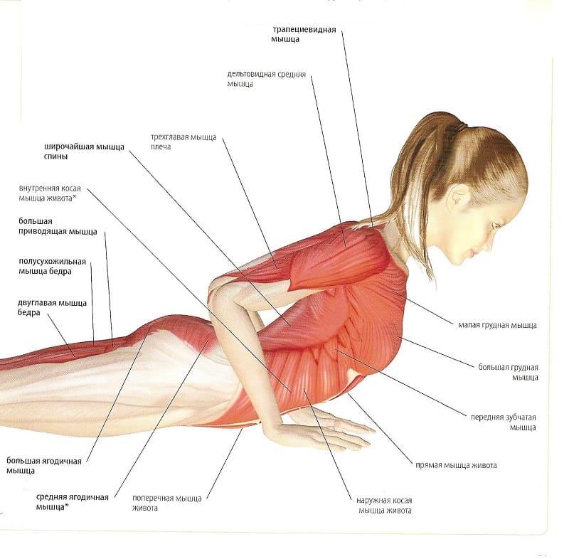 Мышцы, участвующие в работе при бхуджангасане