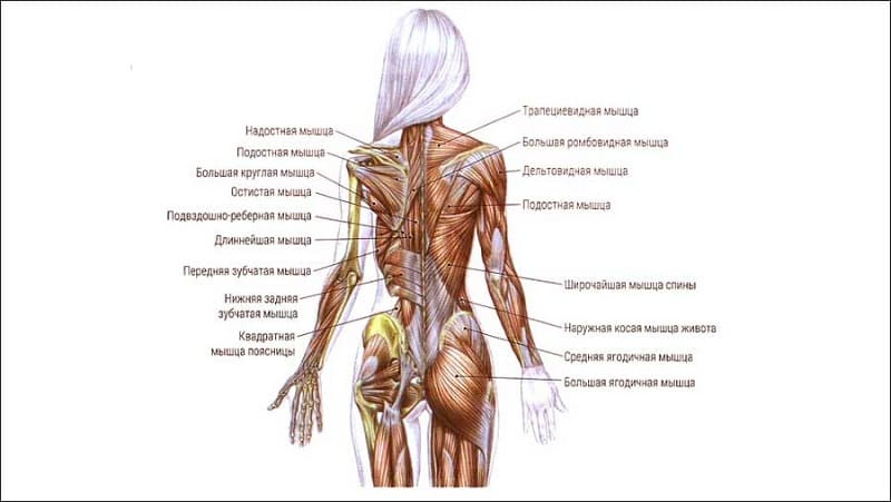 Строение маскулатуры спины