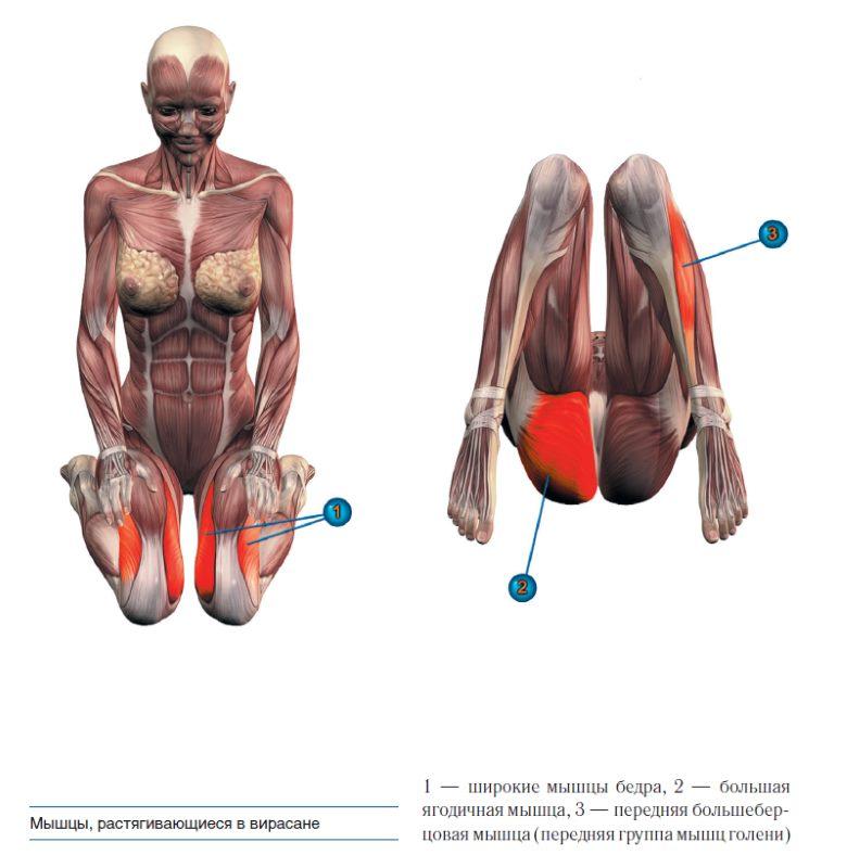 Мышцы, растягивающиеся в вирасане