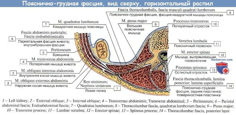 Пояснично-грудная фасция