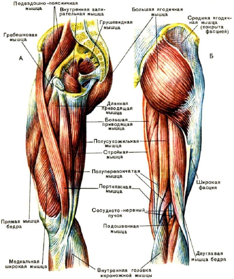 Анатомическое строение внутренней поверхности бедра
